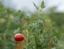 Secrets of a Tastier Tomato